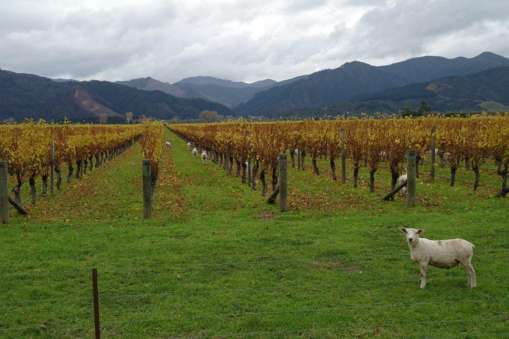 Moutons, vignes, montagnes... Bienvenue sur l'île du sud !